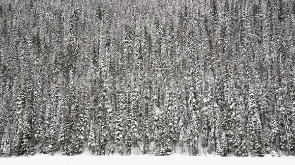 Wall of Trees Covered in Snow Stock photo © jameswheeler