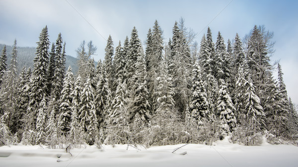 Row of Trees Covered in Snow Stock photo © jameswheeler