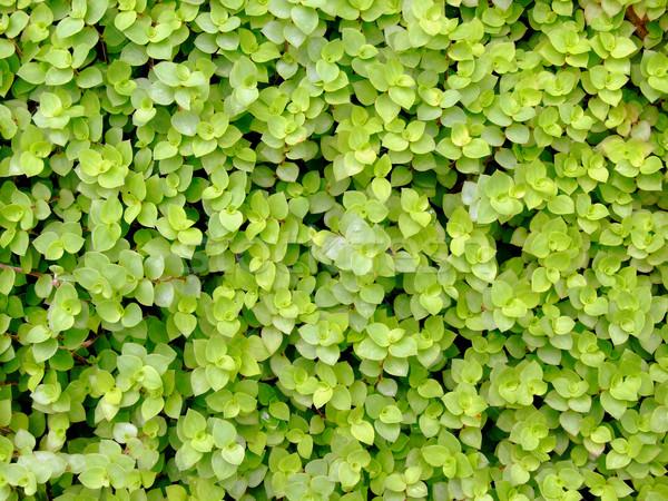 Blad groen blad textuur voorjaar natuur Stockfoto © janaka