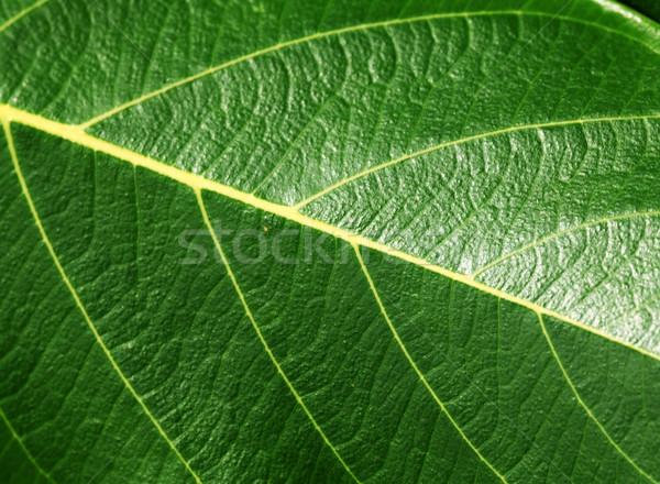 Zöld levél közelkép természet textúra fa zöld Stock fotó © janaka