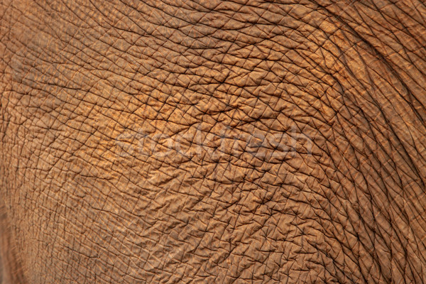 Elephant skin Stock photo © janaka