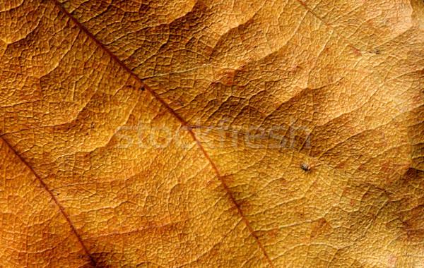 Dry Leaf Stock photo © janaka