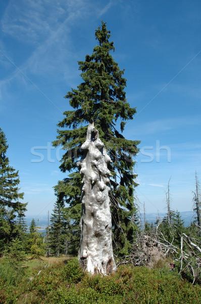Vieux arbre montagnes Pologne ciel Photo stock © janhetman