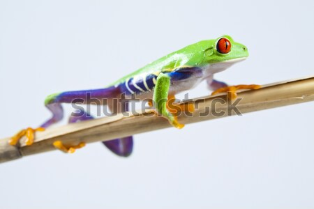 Stock photo: Tree frog on colorful background