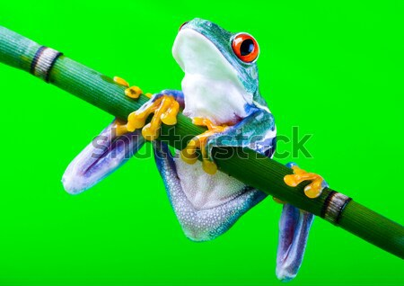Tree frog on colorful background Stock photo © JanPietruszka