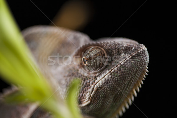 Chameleon on bamboo on a black background Stock photo © JanPietruszka