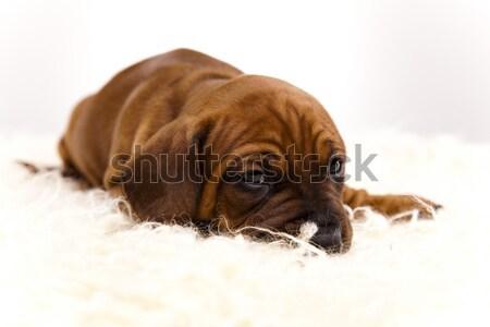 собака мало ребенка собаки молодые грусть Сток-фото © JanPietruszka