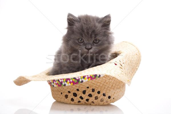 İngilizler küçük kedi yavrusu sevimli evcil hayvan renkli Stok fotoğraf © JanPietruszka