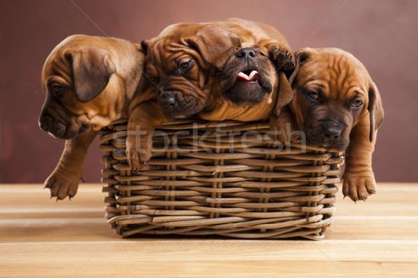 子犬 バスケット 犬 赤ちゃん ストックフォト © JanPietruszka