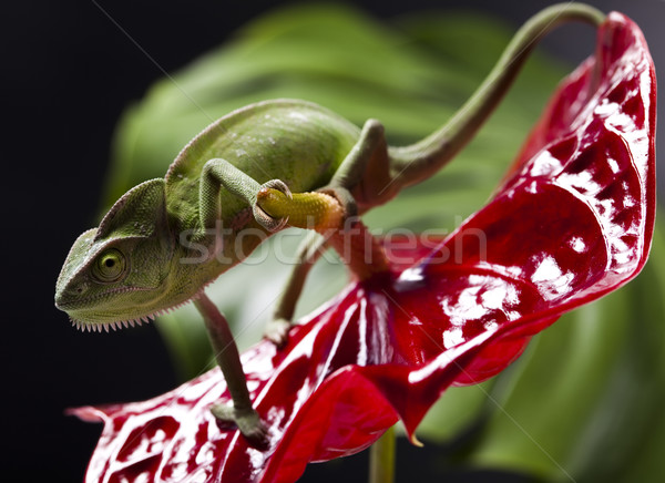 Chameleon and flower Stock photo © JanPietruszka