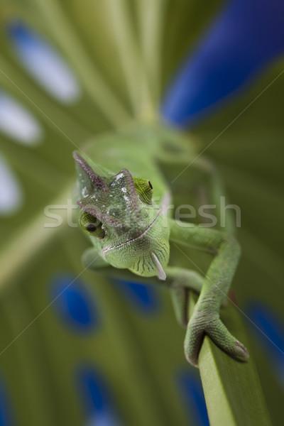 Lagarto famílias camaleão atravessar fundo retrato Foto stock © JanPietruszka