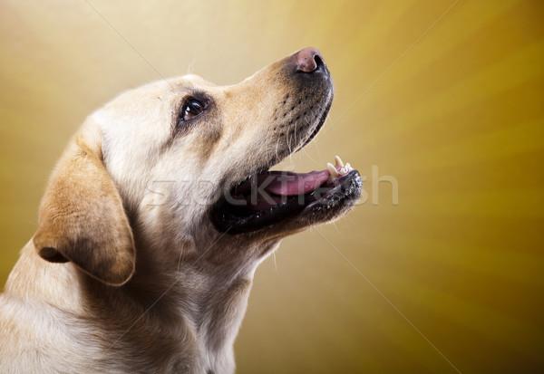 Labrador retriever perro cara retrato animales cachorro Foto stock © JanPietruszka