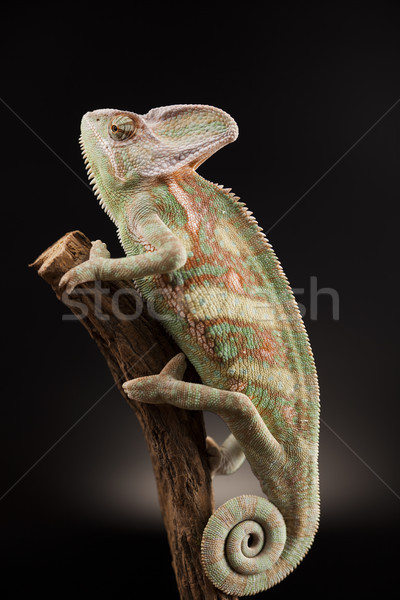 Chameleon lizard isolated on black background Stock photo © JanPietruszka