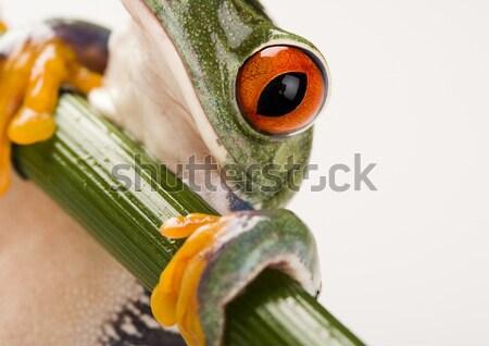 Rood oog boomkikker blad kleurrijk natuur Stockfoto © JanPietruszka