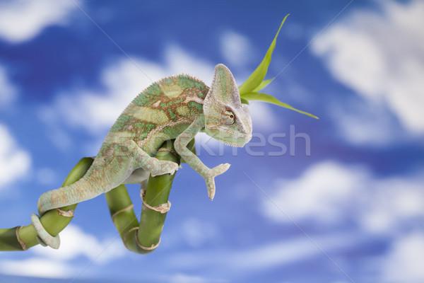 Gökyüzü sürüngen bukalemun kertenkele yeşil bebek Stok fotoğraf © JanPietruszka
