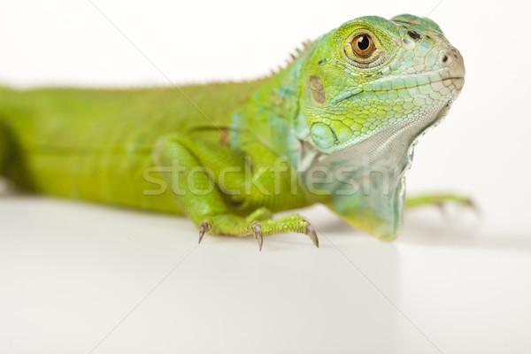 Iguana isolated on white background Stock photo © JanPietruszka