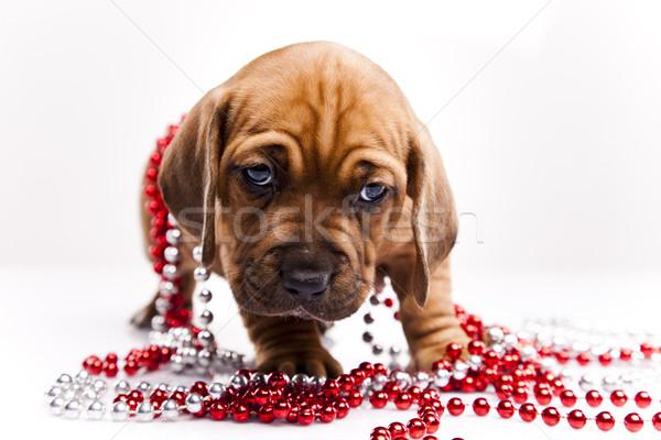 犬 赤ちゃん 犬 小さな 悲しみ ストックフォト © JanPietruszka