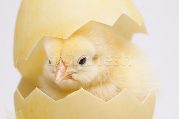 Chick Pascua bebé aves pollo pluma Foto stock © JanPietruszka