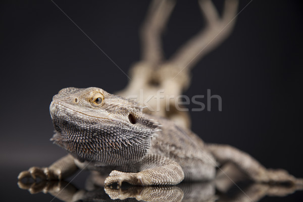 Antlers, Dragon lizard  on black mirror background Stock photo © JanPietruszka