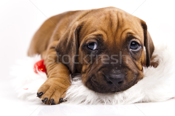 Kutyakölyök kicsi kutya baba kutyák fiatal Stock fotó © JanPietruszka
