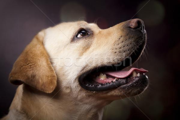 Labrador retriever köpek yüz portre hayvan köpek yavrusu Stok fotoğraf © JanPietruszka