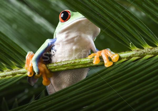 Zöld fa béka színes természet piros trópusi Stock fotó © JanPietruszka