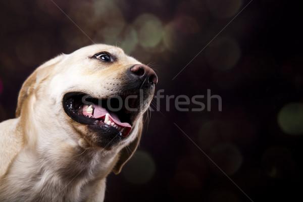 Zdjęcia stock: Labrador · retriever · psa · twarz · portret · zwierząt · szczeniak