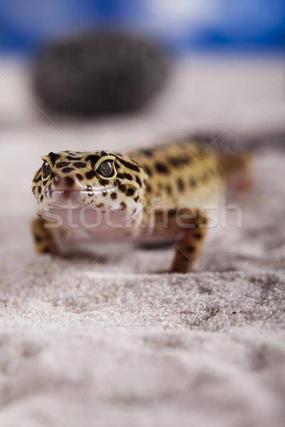 Küçük geko sürüngen kertenkele göz beyaz Stok fotoğraf © JanPietruszka