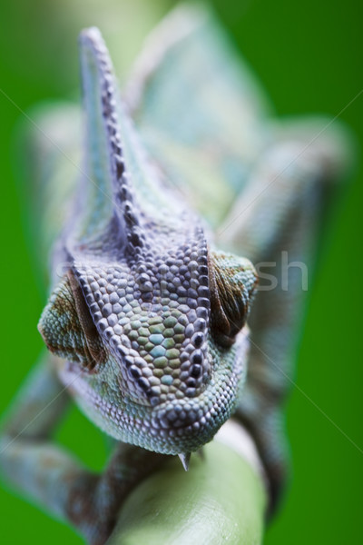 Jaszczurka rodziny Chameleon jasne żywy egzotyczny Zdjęcia stock © JanPietruszka