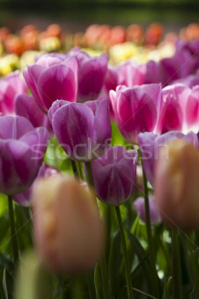 Zdjęcia stock: Wiosną · tulipany · ogród · kwiat · kwiat · trawy