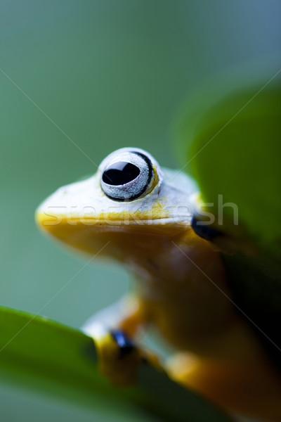 Egzotikus béka Indonézia zöld trópusi állat Stock fotó © JanPietruszka