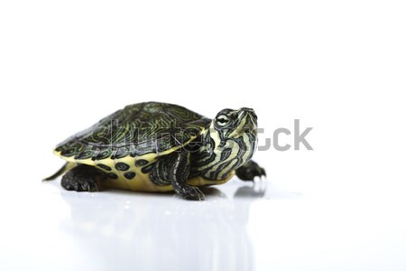 Turtle and carapace, egzotic natural tone concept Stock photo © JanPietruszka