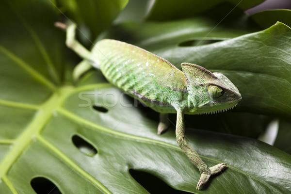 Dragon, Green chameleon Stock photo © JanPietruszka