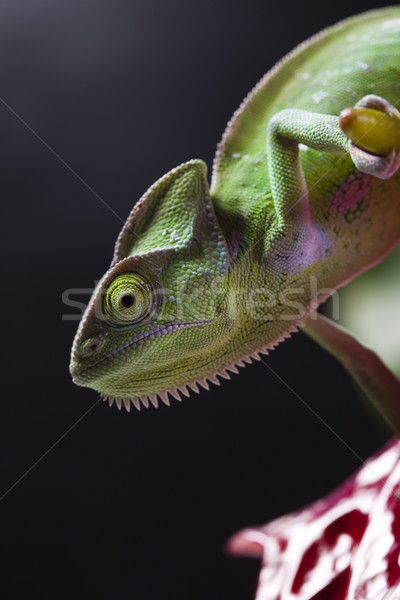 Chameleon Stock photo © JanPietruszka
