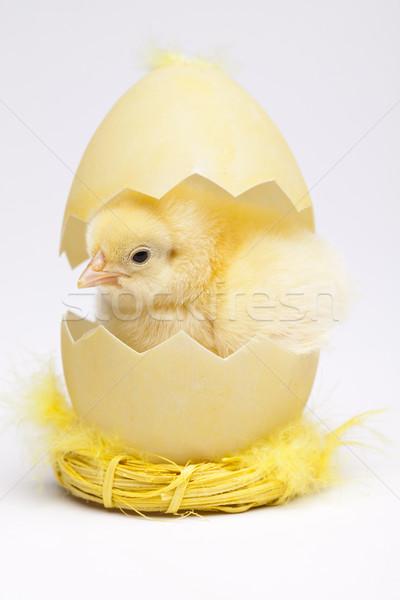 Baby chick Stock photo © JanPietruszka