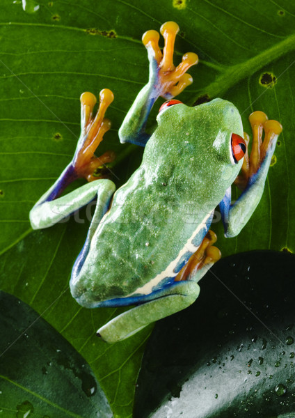 Frog in the jungle on colorful background Stock photo © JanPietruszka