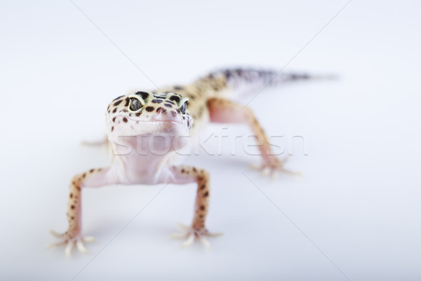Pequeno lagartixa réptil lagarto brilhante colorido Foto stock © JanPietruszka