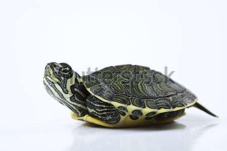 Nice Turtle isolated on white Stock photo © JanPietruszka