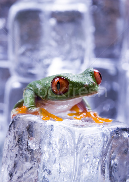 Exotic frog in indonesia, Rhacophorus reinwardtii on colorful ba Stock photo © JanPietruszka