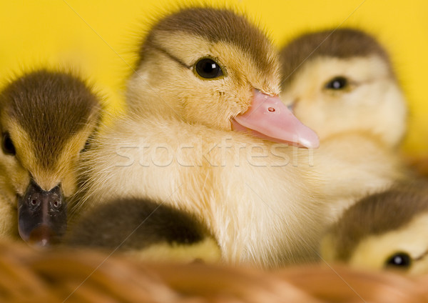Little easter duck, springtime colorful bright theme Stock photo © JanPietruszka