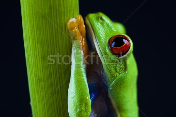 Exótico rana colorido naturaleza hoja rojo Foto stock © JanPietruszka