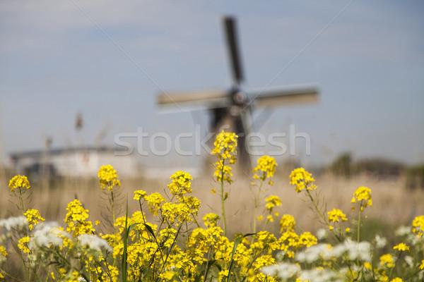 Starych wiatrak Niderlandy tradycyjny trawy lata Zdjęcia stock © JanPietruszka