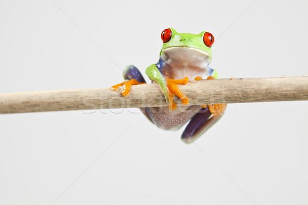 Levelibéka színes természet piros béka trópusi Stock fotó © JanPietruszka