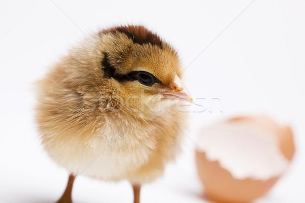 ребенка куриного Пасху птица куриные Перу Сток-фото © JanPietruszka