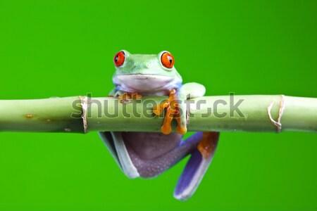 Boomkikker natuur Rood kikker tropische huisdier Stockfoto © JanPietruszka