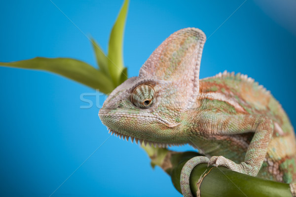 Groene Blauw kameleon hagedis geïsoleerd spiegel Stockfoto © JanPietruszka