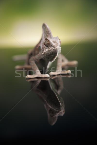 Chameleon lizard isolated on green background Stock photo © JanPietruszka