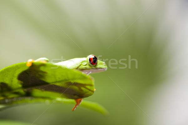 Rood oog boomkikker natuur kikker tropische Stockfoto © JanPietruszka