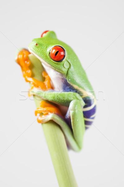 Stock fotó: Piros · béka · zöld · fa · színes · természet · trópusi