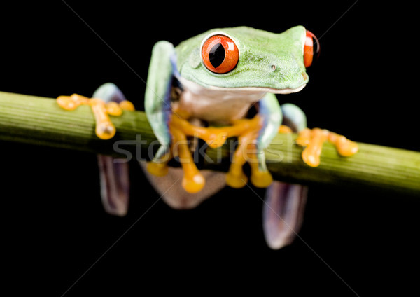 Red eye tree frog on leaf on colorful background Stock photo © JanPietruszka